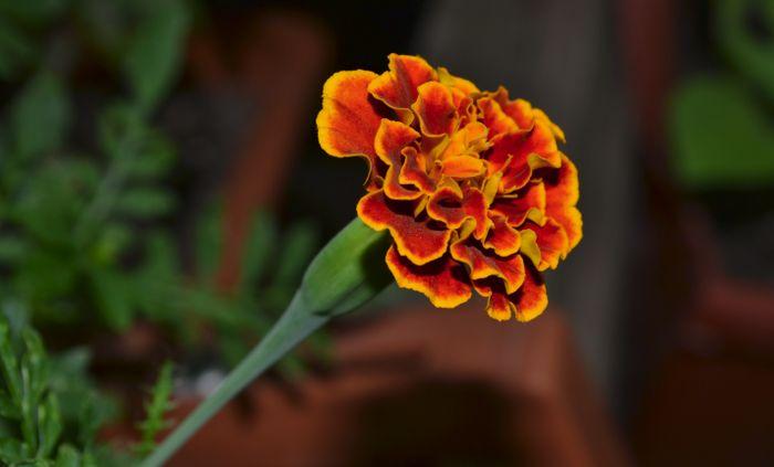 Цветки бархатца