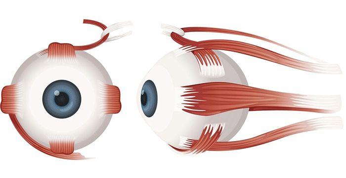Функции мускулов глаза