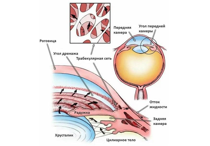 Анатомия, физиология и патология органа зрения