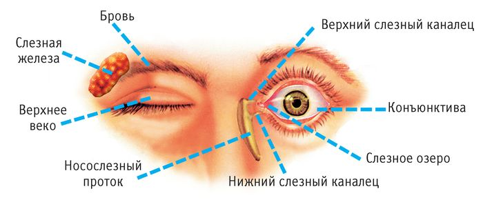 Строение века глаза человека схема