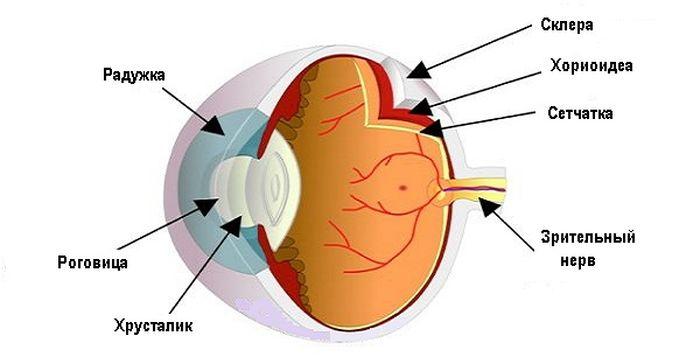 Анатомия склеры глаза
