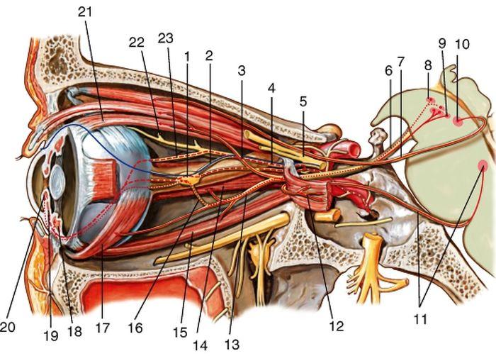 Верхняя ветвь глазодвигательного нерва