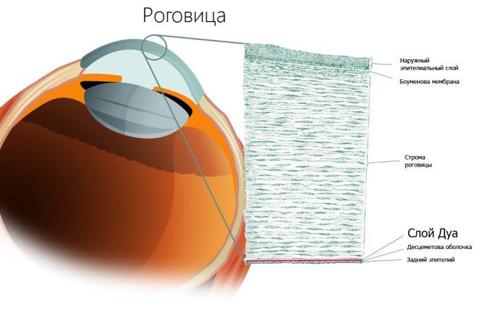 Анатомия роговицы глаза
