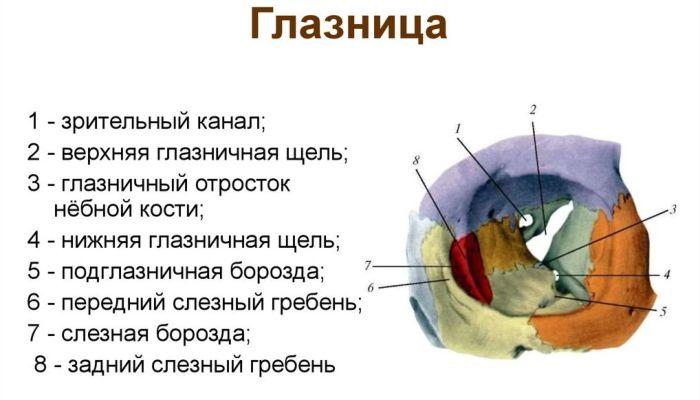 Орбита глазница анатомия