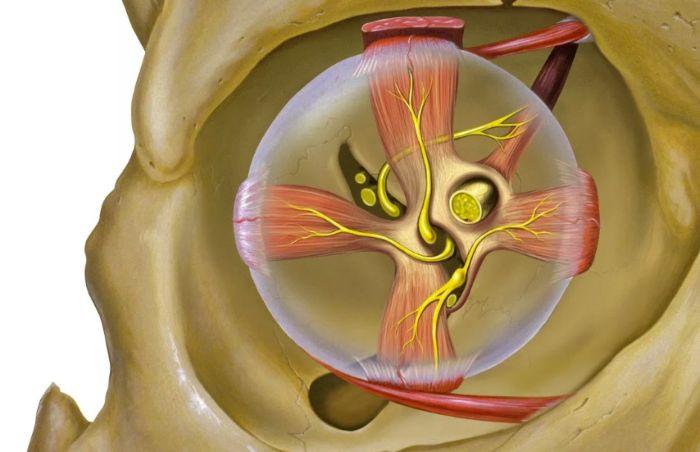 Анатомия орбиты человека