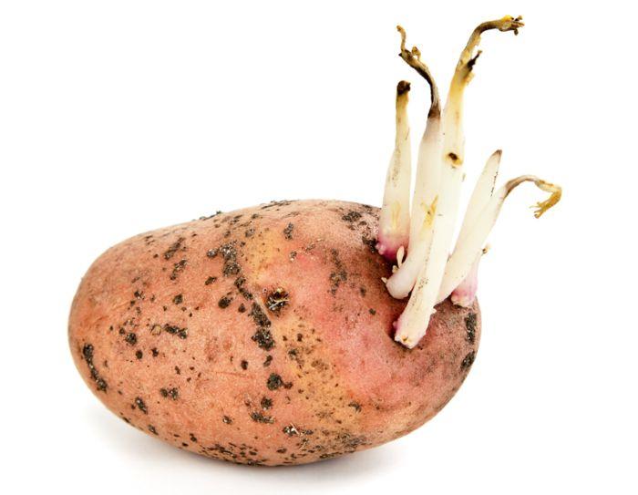 Картофельные отростки